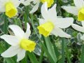 Narcissus 'Jack Snipe' narcis
