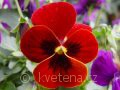Viola ×cornuta 'Twix®F1 Red with Eye' violka ×cornuta 'Twix®F1 Red with Eye'