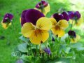 Viola ×cornuta 'Twix®F1 Yellow Purple Wing' violka ×cornuta 'Twix®F1 Yellow Purple Wing'