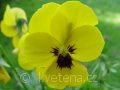 Viola ×cornuta 'Twix®F1 Yellow with Eye' violka ×cornuta 'Twix®F1 Yellow with Eye'