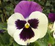 Viola ×wittrockiana 'Carneval®F1 Purple and White' violka ×wittrockiana 'Carneval®F1 Purple and White'